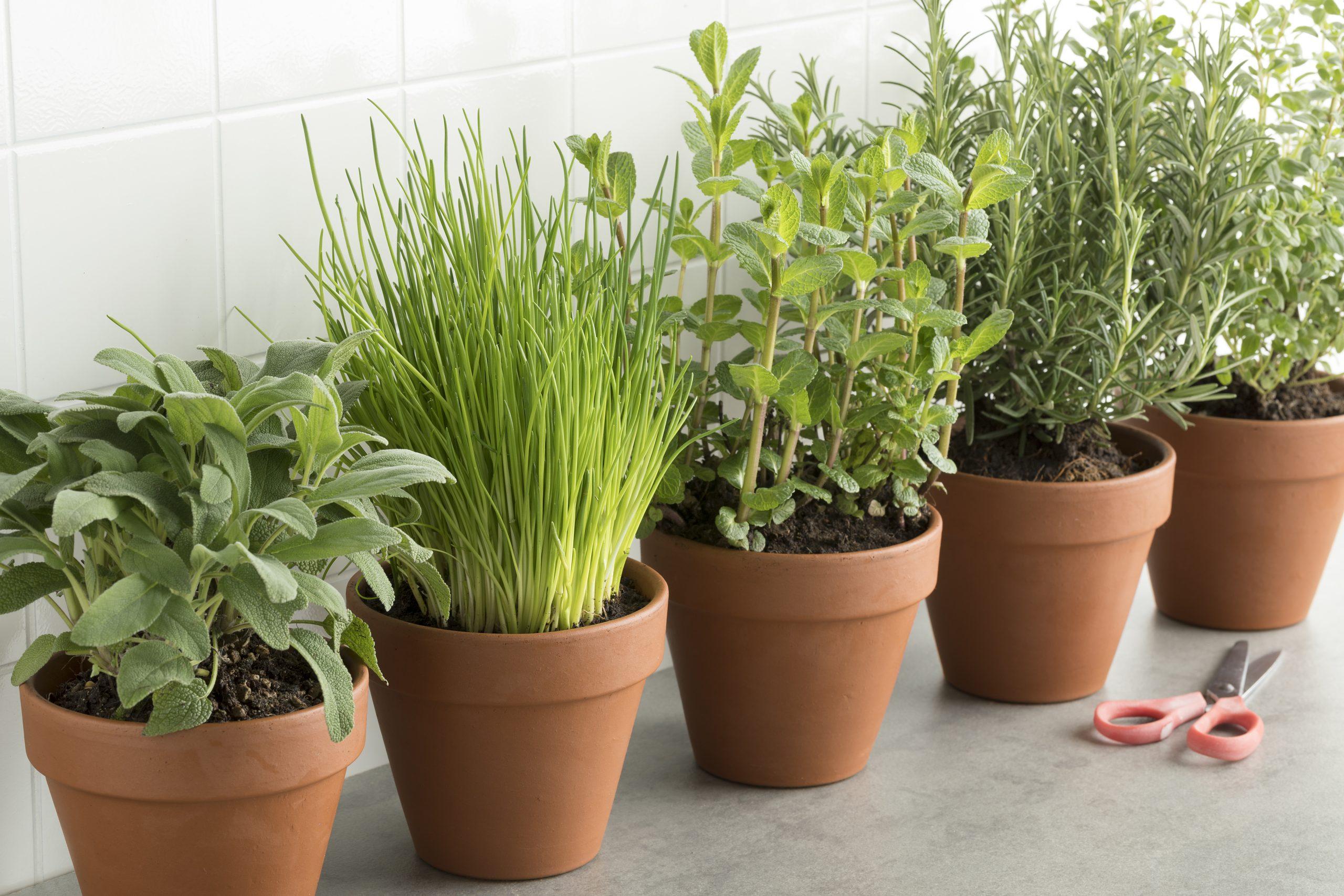 Full Size of Row Of Brown Terracotta Pots With Fresh Herbs Küche Kräutergarten Küche