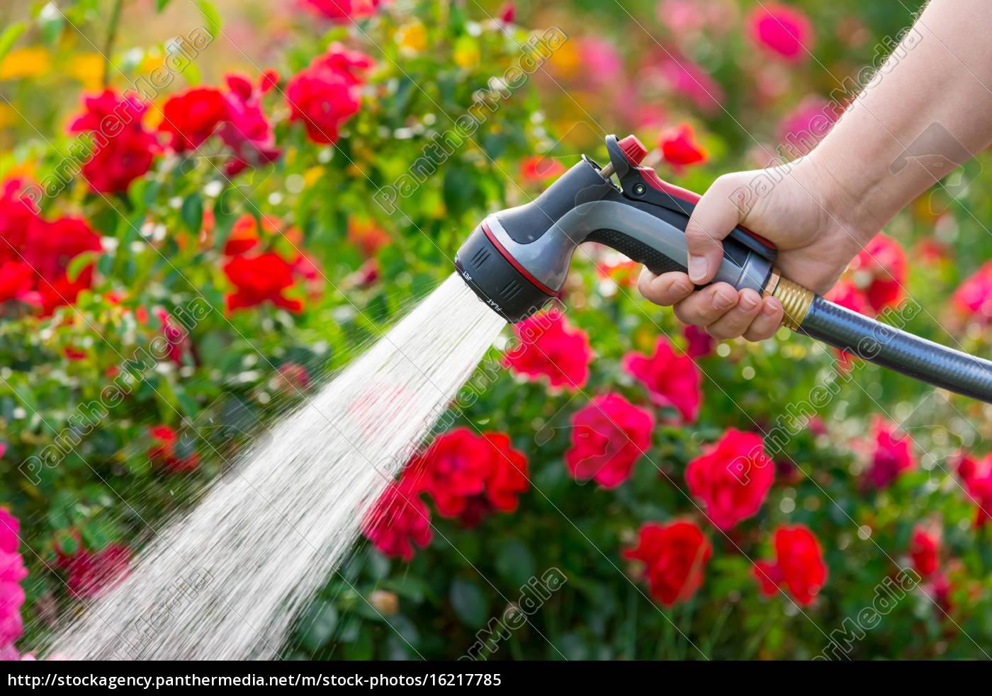 Full Size of Bewässerung Garten Bewsserung Mit Blumen Schlauch Lizenzfreies Bild Schaukelstuhl Holzhäuser Spielhaus Kinderschaukel Pavillon Zaun Sitzbank Garten Bewässerung Garten