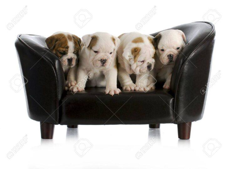 Medium Size of Sofa Englisch Wurf Von Bulldogge Welpen Hund Sitzt Auf Einem Mit Ligne Roset Großes Blau Zweisitzer Bezug Ecksofa Ottomane L Schlaffunktion Angebote 3 Sitzer Sofa Sofa Englisch