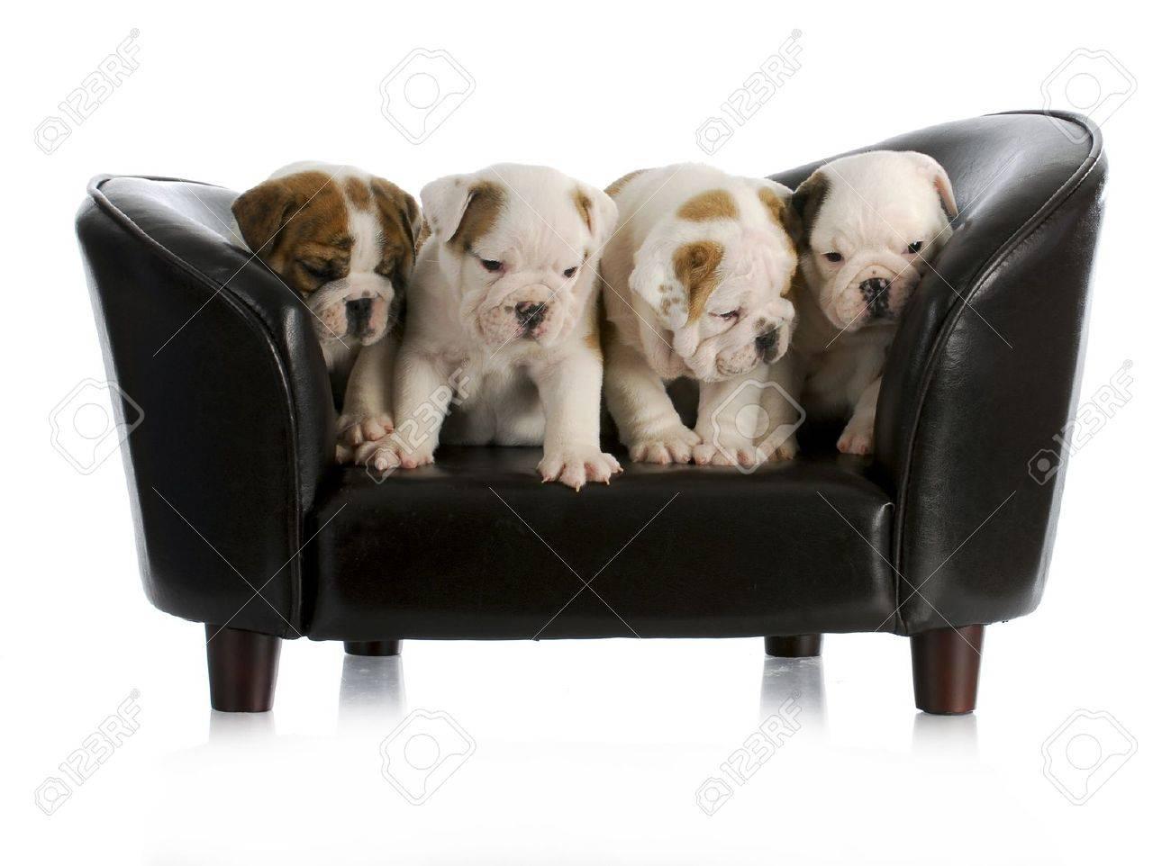 Full Size of Sofa Englisch Wurf Von Bulldogge Welpen Hund Sitzt Auf Einem Mit Ligne Roset Großes Blau Zweisitzer Bezug Ecksofa Ottomane L Schlaffunktion Angebote 3 Sitzer Sofa Sofa Englisch