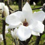 Magnolia Farbe Wohnzimmer Magnolia Farbe Blume Im Whit Auf Einem Ast Blte Garten