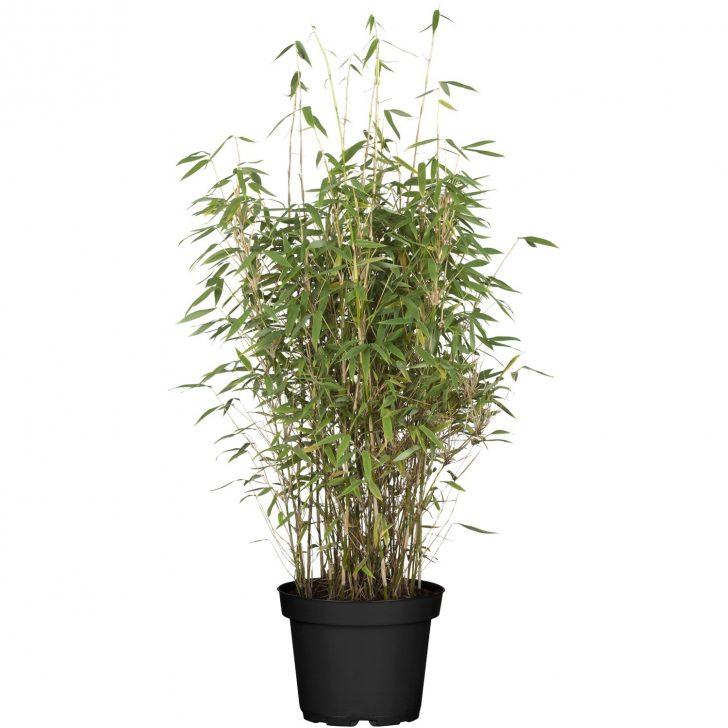 Medium Size of Bambus Sichtschutz Obi Volcano Hhe Ca 60 80 Cm Topf 7 Im Garten Nobilia Küche Sichtschutzfolien Für Fenster Sichtschutzfolie Einseitig Durchsichtig Regale Wohnzimmer Bambus Sichtschutz Obi
