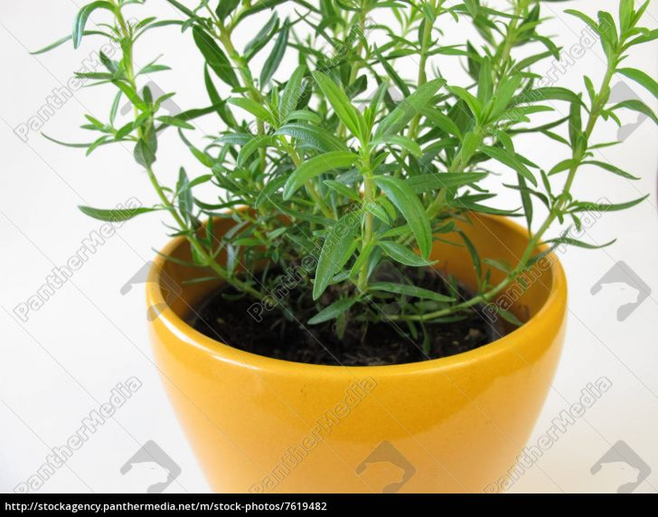 Medium Size of Kräutertopf Zwerg Ysop Im Krutertopf Stock Photo 7619482 Küche Wohnzimmer Kräutertopf
