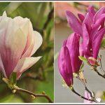 Magnolia Farbe Zwei Farben Der Magnolie Foto Bild Pflanzen Wohnzimmer Magnolia Farbe