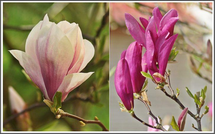 Medium Size of Magnolia Farbe Zwei Farben Der Magnolie Foto Bild Pflanzen Wohnzimmer Magnolia Farbe