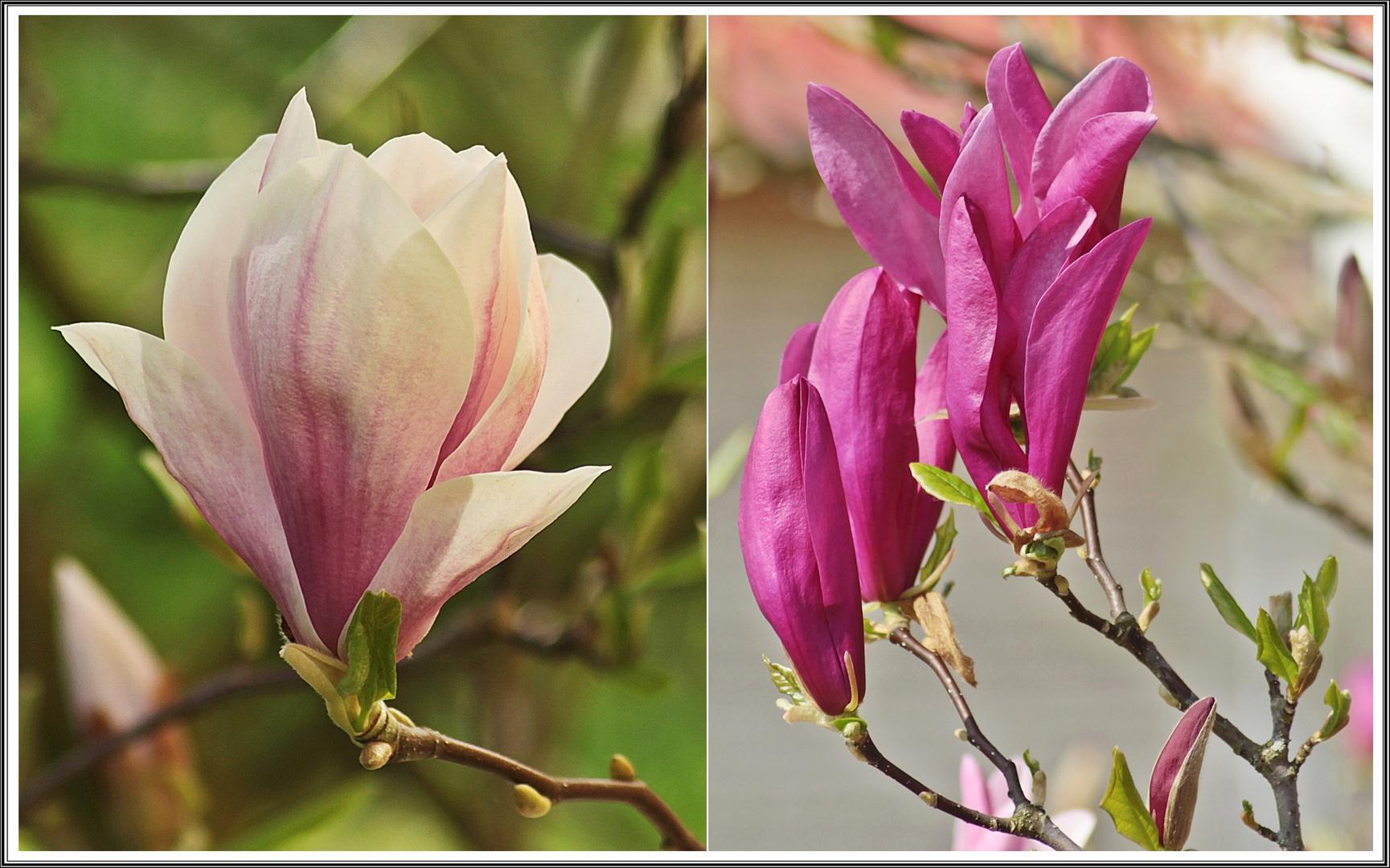 Full Size of Magnolia Farbe Zwei Farben Der Magnolie Foto Bild Pflanzen Wohnzimmer Magnolia Farbe