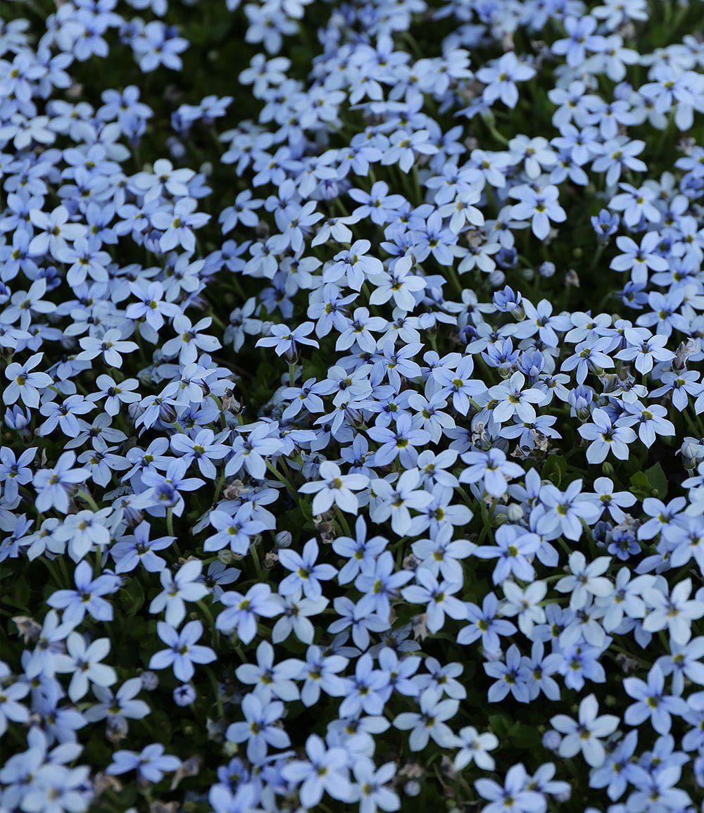 Full Size of Isotoma Blue Foot Sichtschutz Garten Wpc Im Sichtschutzfolie Fenster Einseitig Durchsichtig Für Holz Sichtschutzfolien Wohnzimmer Edelrost Sichtschutz Hornbach