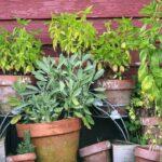 Kruter Anpflanzen Mit Diesen Tipps Gelingt Es Ganz Leicht Salamander Küche Granitplatten Umziehen Tresen Single Schwingtür Tapete Einzelschränke Wohnzimmer Kräutertopf Küche Ikea