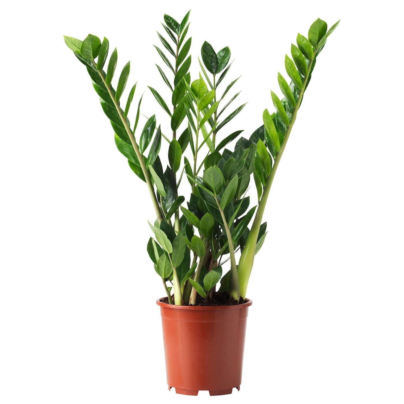 Full Size of Kräutertopf Ikea Zamioculcas Pflanze Sterreich Pflanzen Küche Kosten Betten 160x200 Modulküche Kaufen Sofa Mit Schlaffunktion Bei Miniküche Wohnzimmer Kräutertopf Ikea