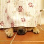 Küchenvorhang Wohnzimmer Küchenvorhang Ylvi Versteckt Sich Unter Unserem Kchenvorhang Eurasier Hund