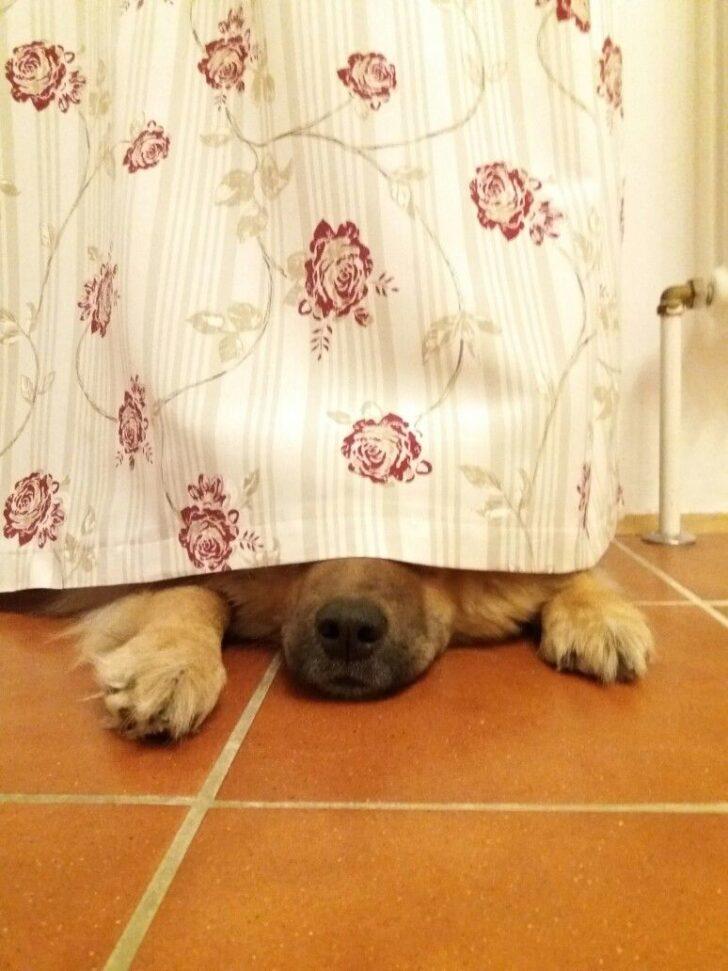 Medium Size of Küchenvorhang Ylvi Versteckt Sich Unter Unserem Kchenvorhang Eurasier Hund Wohnzimmer Küchenvorhang