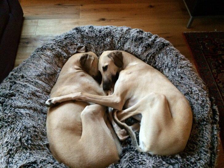 Medium Size of Hundebett Wolke 125 Dogs Inn Hundeshop Cosybed Air Longhair Skunk Black Creme Wohnzimmer Hundebett Wolke 125