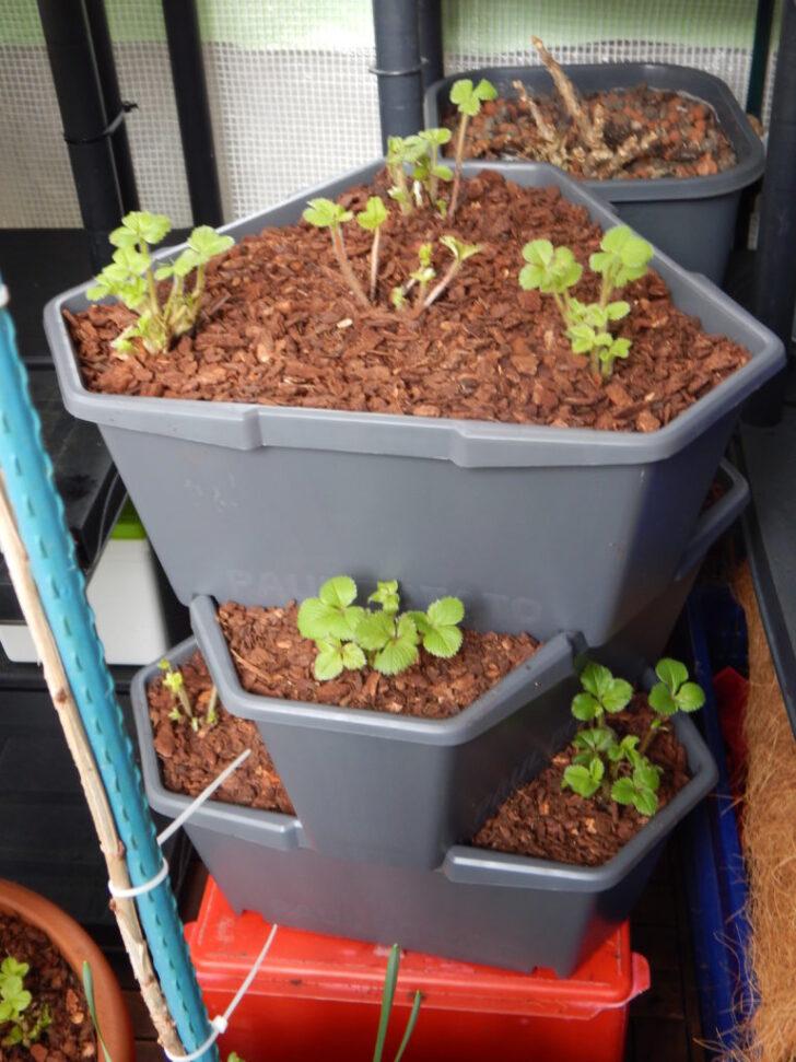 Medium Size of Paul Potato Kartoffelturm Erfahrungen Erdbeeren Im 2 Mein Nasch Balkon Wohnzimmer Paul Potato Kartoffelturm Erfahrungen