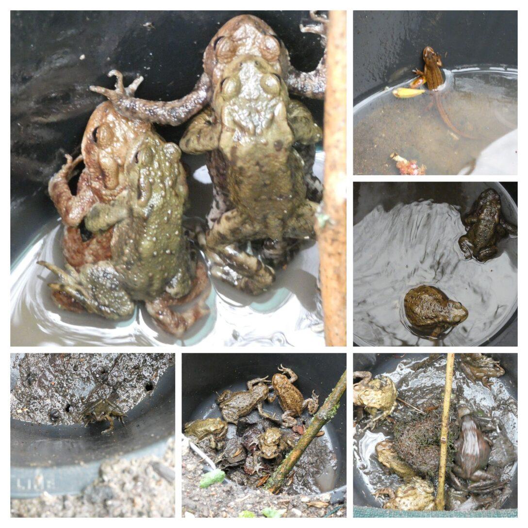 Large Size of Amphibienschutz In Herne Unterwegs Am Krtenzaun 40 Was Lange Bullfrog Sofa Wohnzimmer Bullfrog Lulu