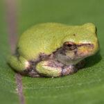 Bullfrog Lulu Wohnzimmer Reptiles And Amphibians Nature Inquiries Bullfrog Sofa