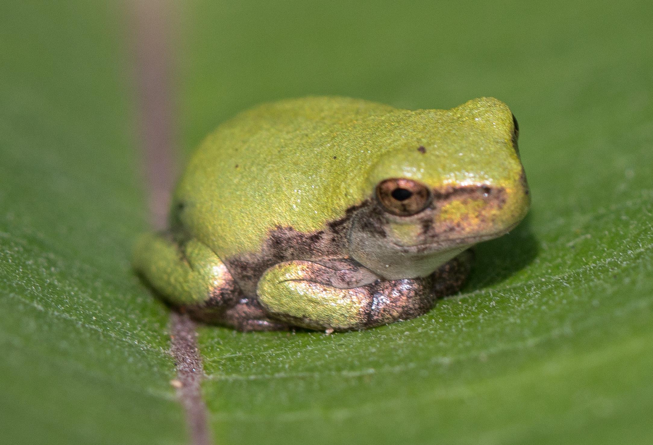 Full Size of Reptiles And Amphibians Nature Inquiries Bullfrog Sofa Wohnzimmer Bullfrog Lulu