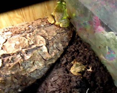 Bullfrog Lulu Wohnzimmer Bullfrog Lulu Preis Sofa And Toads Setup Youtube